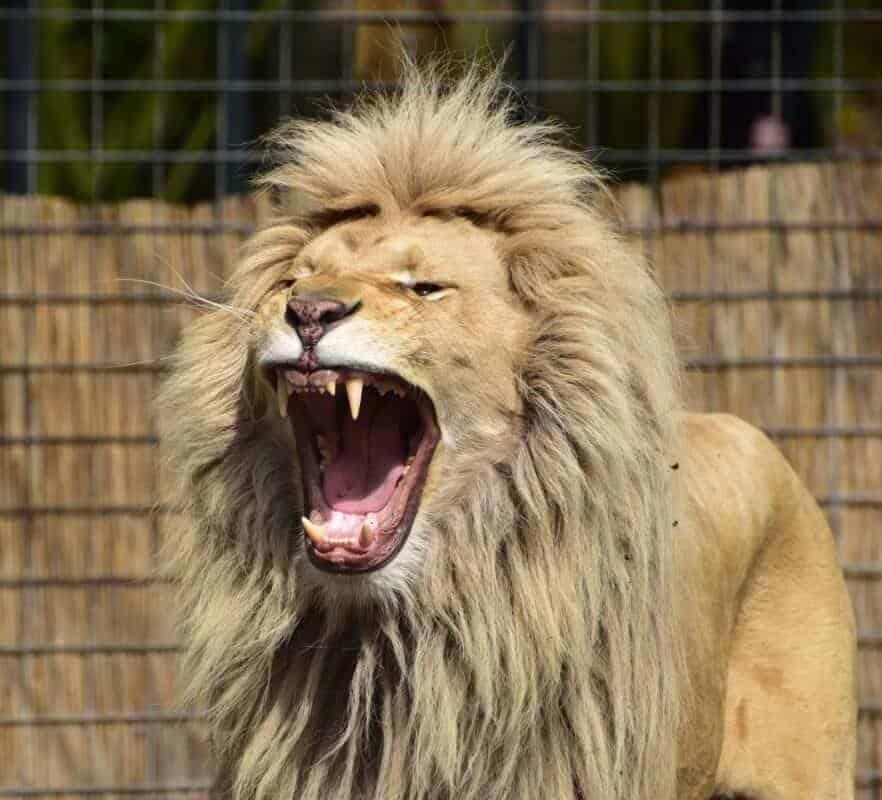 bague lion
